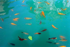 Fotografía de carpas en un estanque