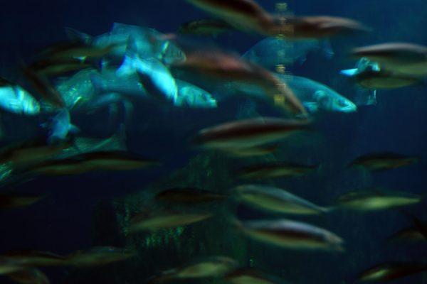 Fotografía de peces en movimiento en un acuario. Medidas 70x50cm, impresa en papel brillo de alta calidad, se envía enrollada en un tubo rígido.